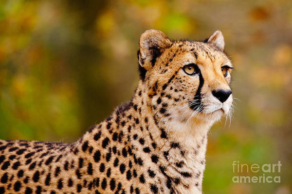 Cheetah In A Forest Art Print