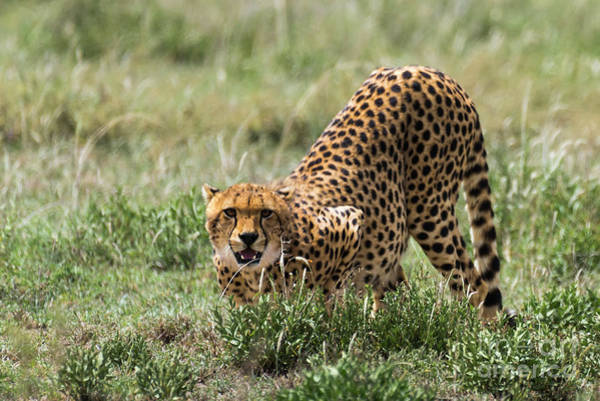 Photograph - Cheetah In Serengeti National Park by RicardMN Photography
