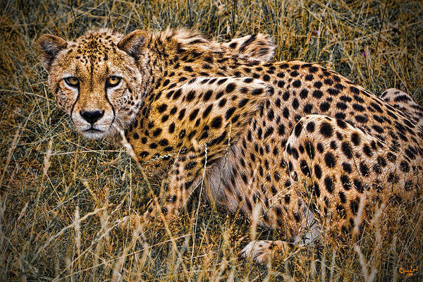 Photograph - Cheetah In The Grass by Chris Lord