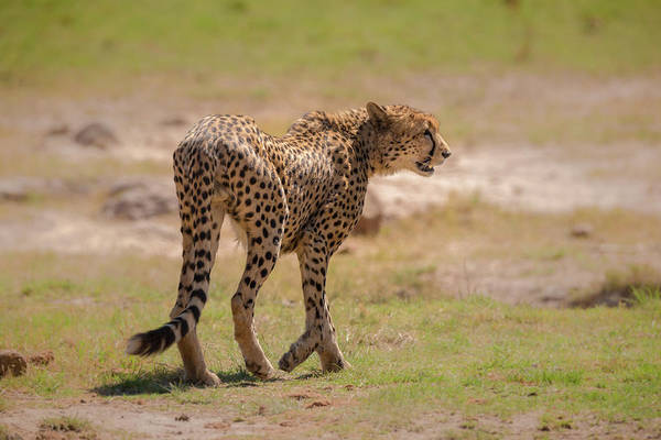 Photograph - Cheetah by James Capo