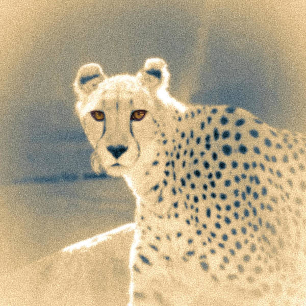 Photograph - Cheetah by Mark Mille