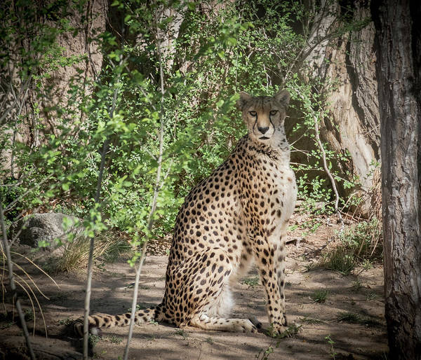 Photograph - Cheetah by Mary Lee Dereske