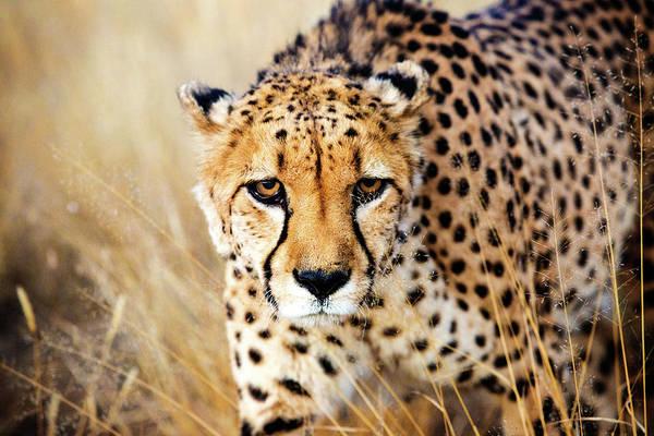 Photograph - Cheetah by Matt Cohen