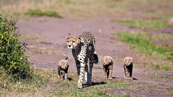 Animal Digital Art - Cheetah by Maye Loeser