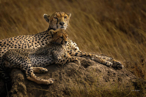Photograph - Cheetah Mother And Cub by Tim Bryan