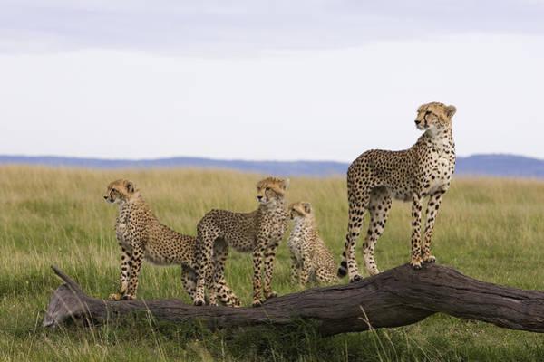Photograph - Cheetah Mother Cubs Masai Mara National by Suzi Eszterhas