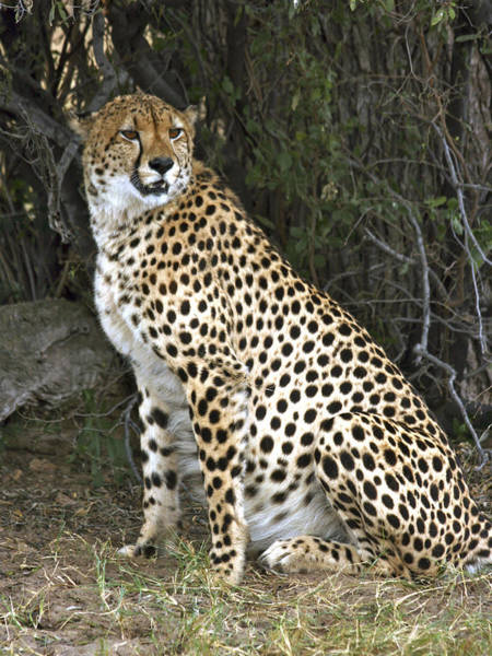 Photograph - Cheetah On Guard by Karen Zuk Rosenblatt