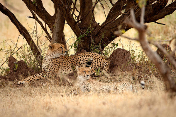 Photograph - Cheetah Pair by John  Nickerson