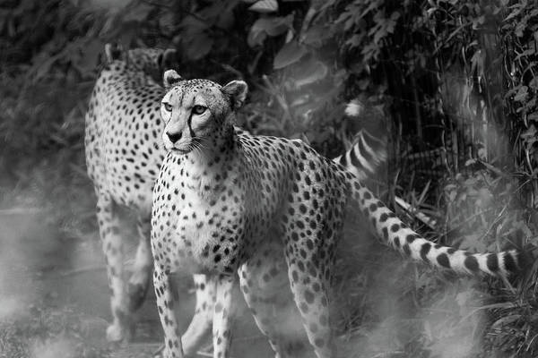 Photograph - Cheetah Pair by SR Green