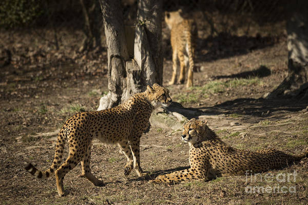 Photograph - Cheetah Party by Jemmy Archer