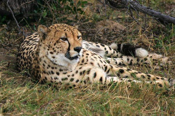 Photograph - Cheetah Portrait by Karen Zuk Rosenblatt