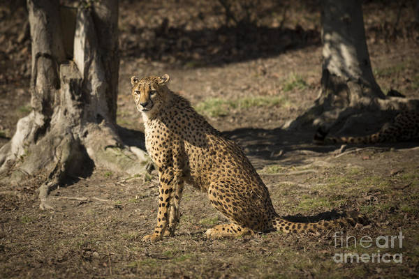 Photograph - Cheetah Sitting Pretty by Jemmy Archer