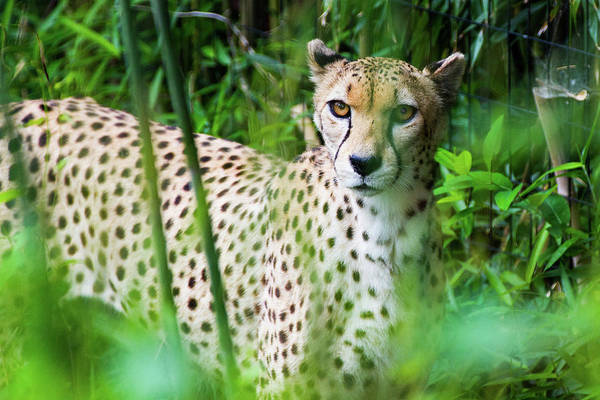 Photograph - Cheetah by SR Green