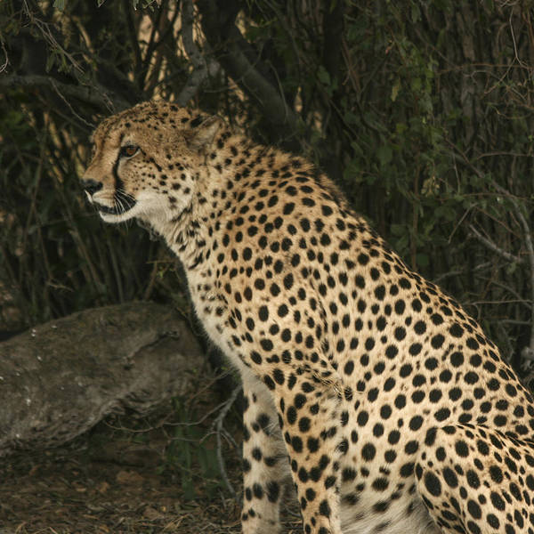 Photograph - Cheetah Watching by Karen Zuk Rosenblatt
