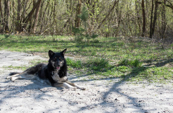Photograph - Chernobyl Wild Dog by Juli Scalzi