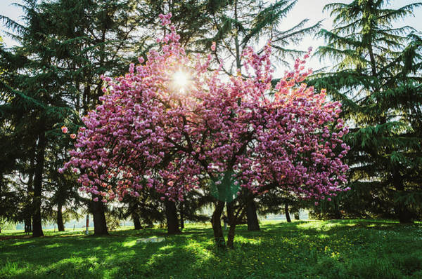 Photograph - Cherry Blossom by Alexandre Rotenberg