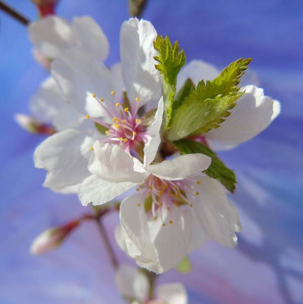 Photograph - Cherry Blossom by Barbara St Jean
