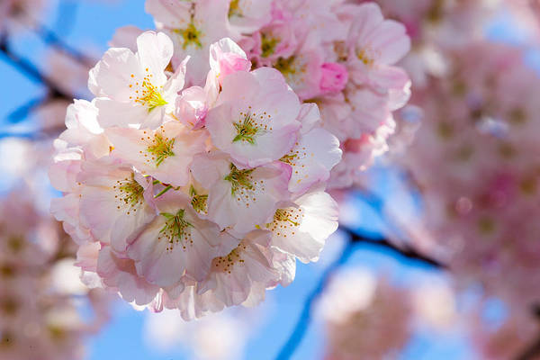 Photograph - Cherry Blossom Closeup by SR Green
