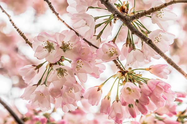 Photograph - Cherry Blossom Clusters by Karen Saunders