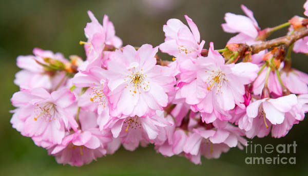 Photograph - Cherry Blossom by Colin Rayner