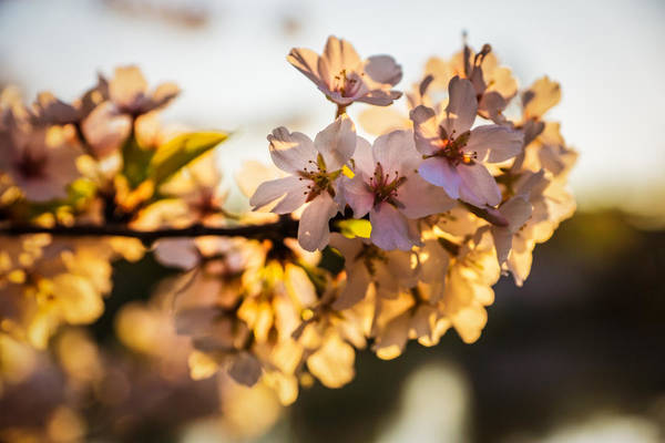 Photograph - Cherry Blossom Detail No 2 by Chris Bordeleau