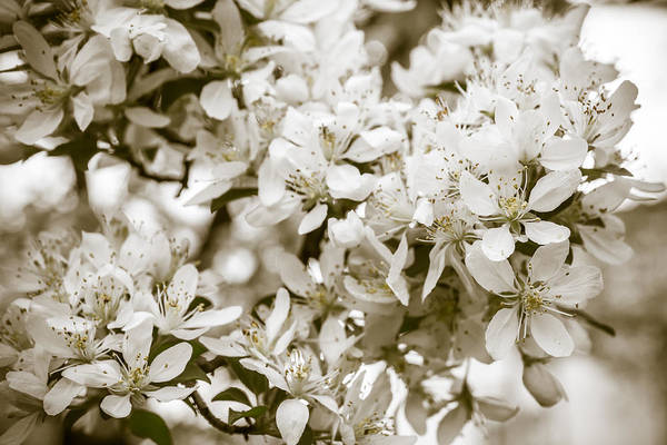 Photograph - Cherry Blossom Detail No 6 by Chris Bordeleau