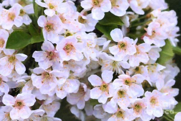 Digital Art - Cherry Blossom Eyelashes by Donna L Munro