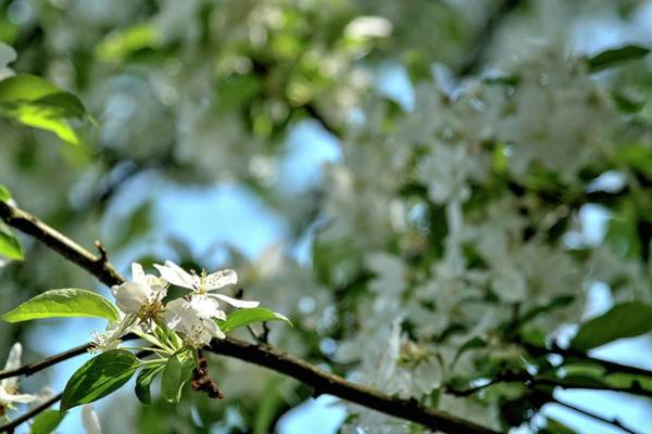 Photograph - Cherry Blossom Highlight by Jerry Sodorff