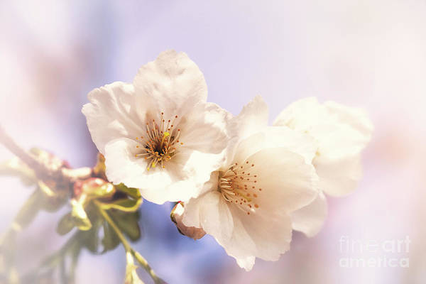Wall Art - Photograph - Cherry Blossom by Jane Rix
