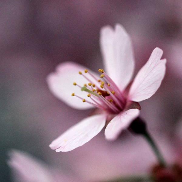 Wall Art - Photograph - Cherry Blossom by Joseph Skompski