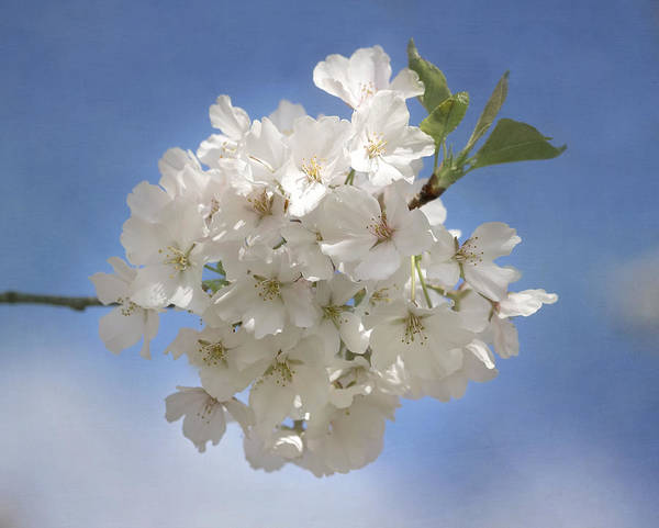 Photograph - Cherry Blossom Jubilee by Kim Hojnacki