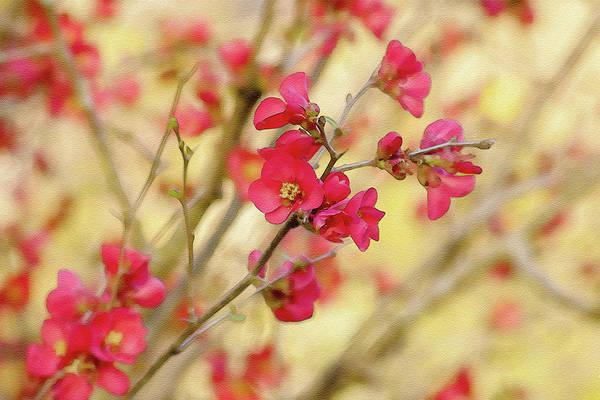 Digital Art - Cherry Blossom  by Keith Smith