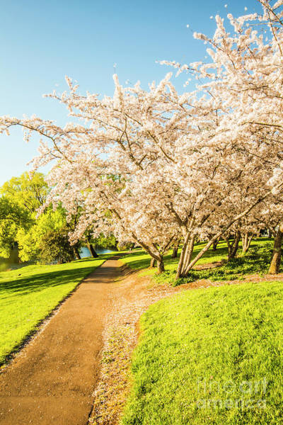 Green Grass Photograph - Cherry Blossom Lane by Jorgo Photography - Wall Art Gallery