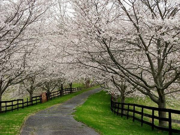 Cherry Blossom Lane Art Print by Joyce Kimble Smith