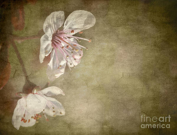 Photograph - Cherry Blossom by Meirion Matthias
