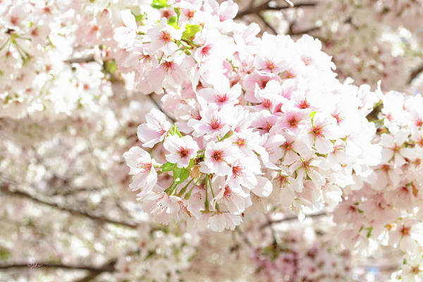 Photograph - Cherry Blossom Morning by Paulette B Wright