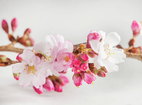 Wall Art - Photograph - Cherry Blossom On White by Iris Richardson