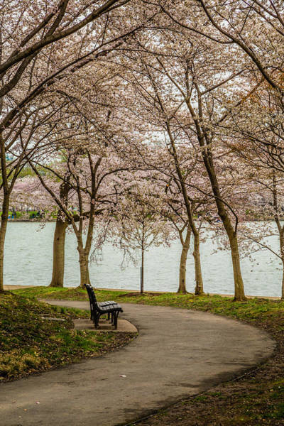 Photograph - Cherry Blossom Path by Karen Saunders
