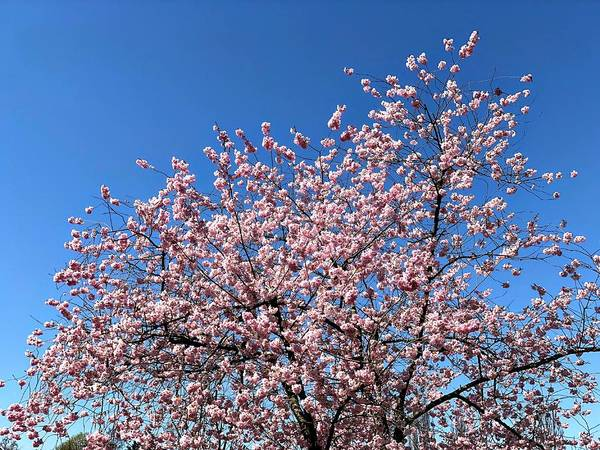 Wall Art - Photograph - Cherry Blossom Pink And Blue Spring Colors by Matthias Hauser
