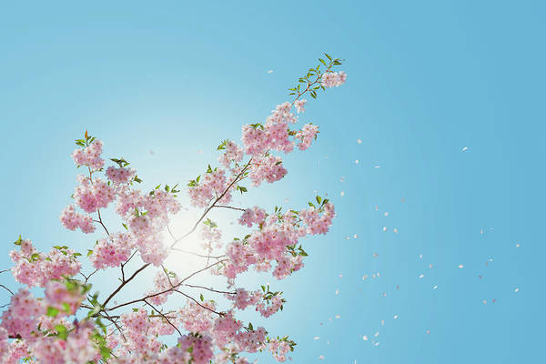 Wall Art - Photograph - Cherry Blossom  by Happy Home Artistry