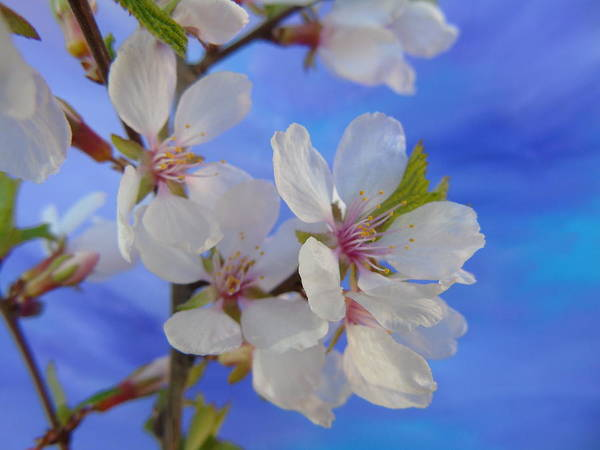 Photograph - Cherry Blossom Sky by Barbara St Jean