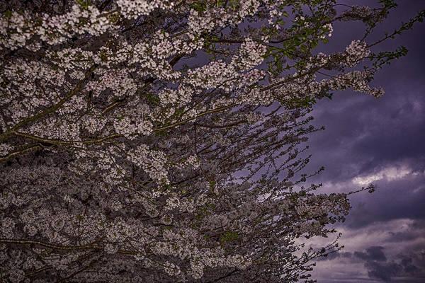 Photograph - Cherry Blossom Sky by Pete Federico