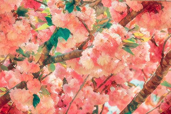 Wall Art - Photograph - Cherry Blossom Time by Ches Black