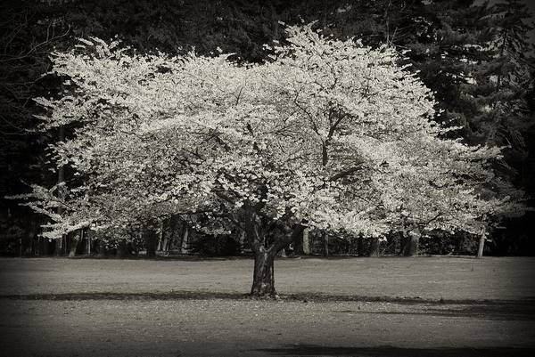 Photograph - Cherry Blossom Tree - Ocean County Park by Angie Tirado