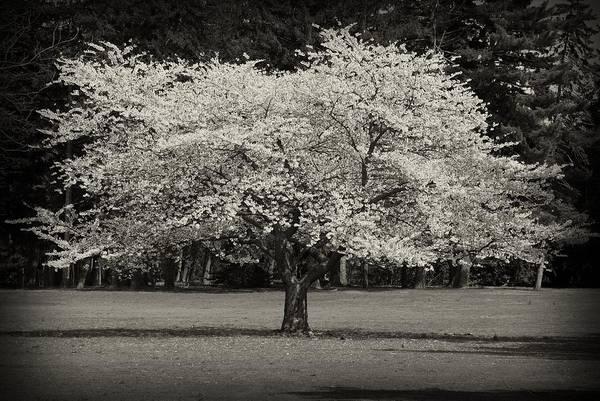 Cherry Blossom Tree - Ocean County Park Art Print