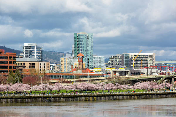 Wall Art - Photograph - Cherry Blossom Trees At Portland Waterfront Park by David Gn
