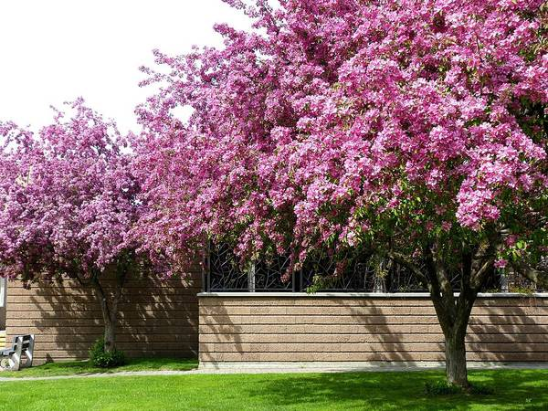 Wall Art - Photograph - Cherry Blossoms 1 by Will Borden
