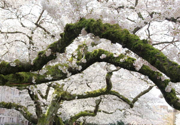 Photograph - Cherry Blossoms 104 by Peter Simmons