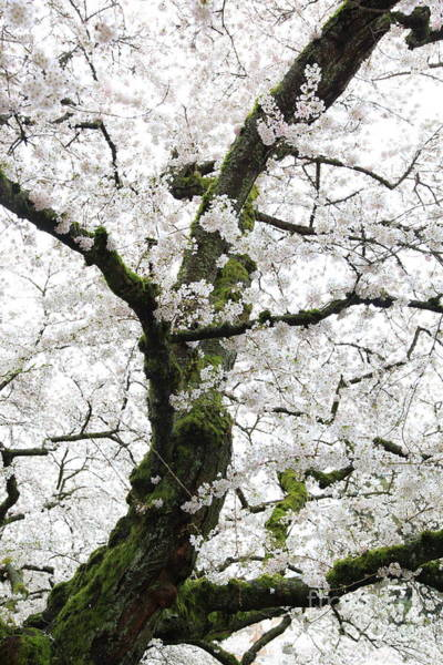 Photograph - Cherry Blossoms 119 by Peter Simmons