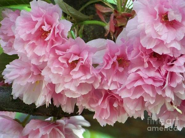 Photograph - Cherry Blossoms 2 by Charles Robinson